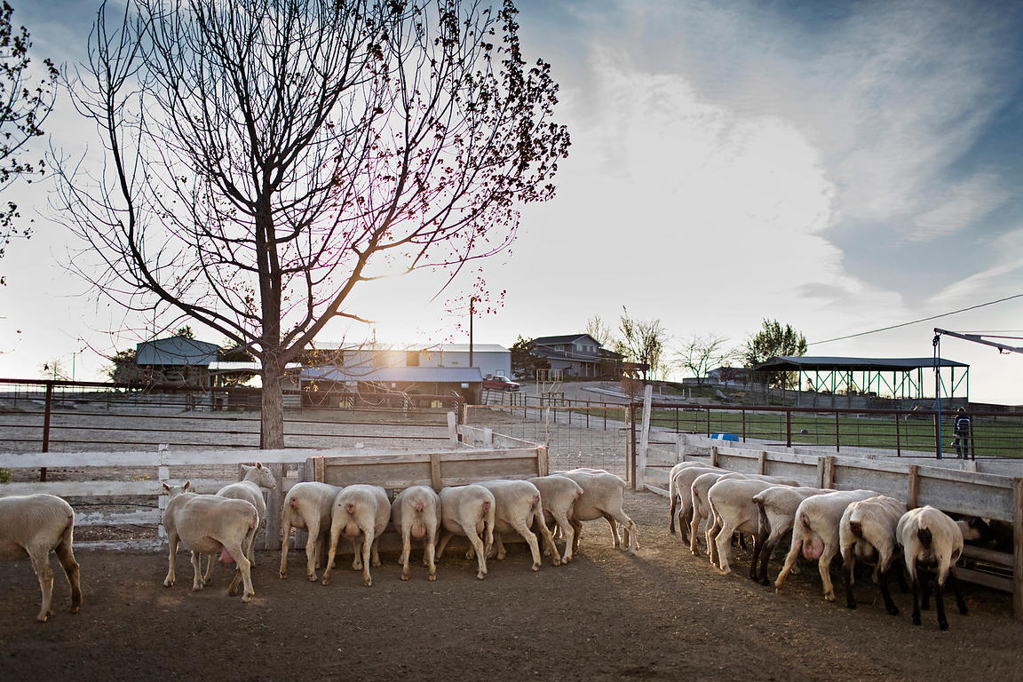 Contemporary Animal Farming in Light of Islamic Principles